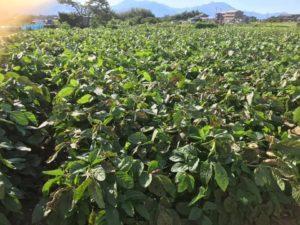 大雨による大豆栽培被害について